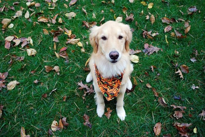 Fall - Gracie with Bandana