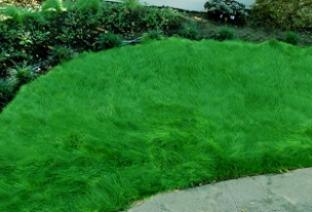 Menlo, CA uncut grass, leans over